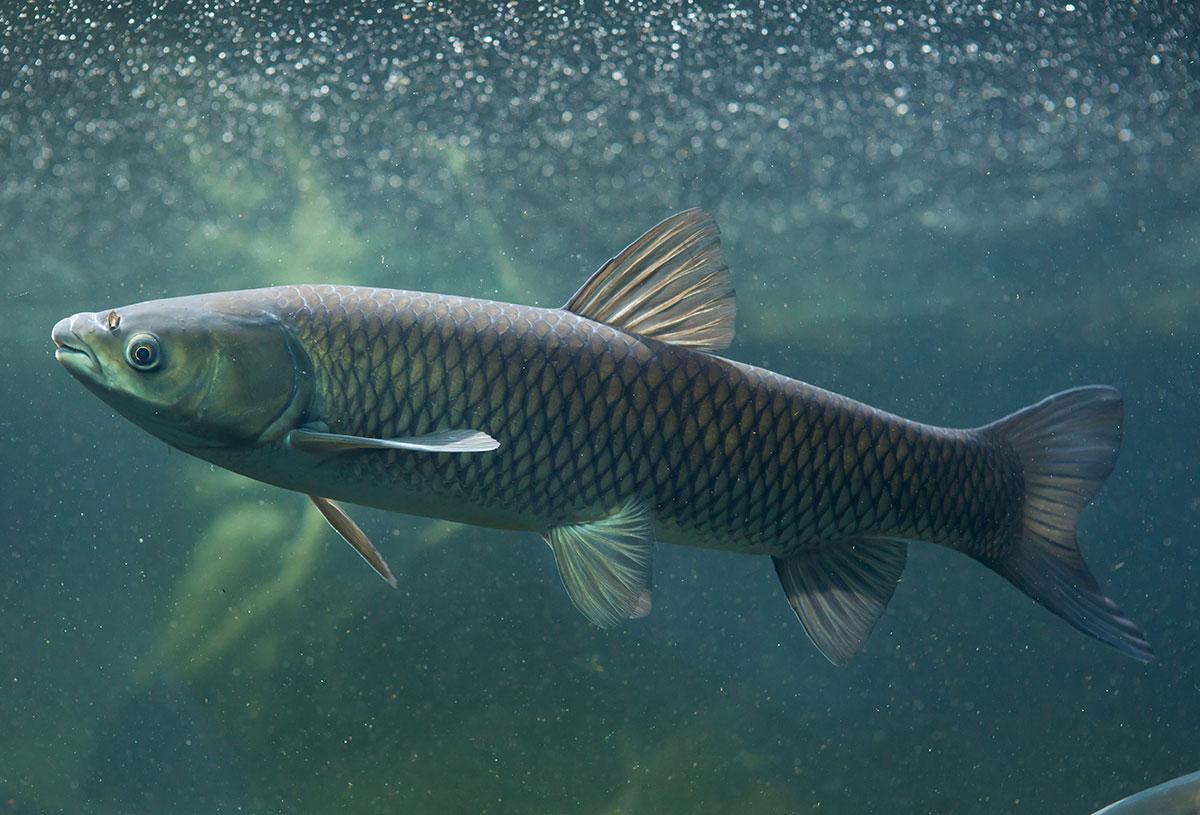 Deutsche Rekordliste Graskarpfen Fisch Und Fang