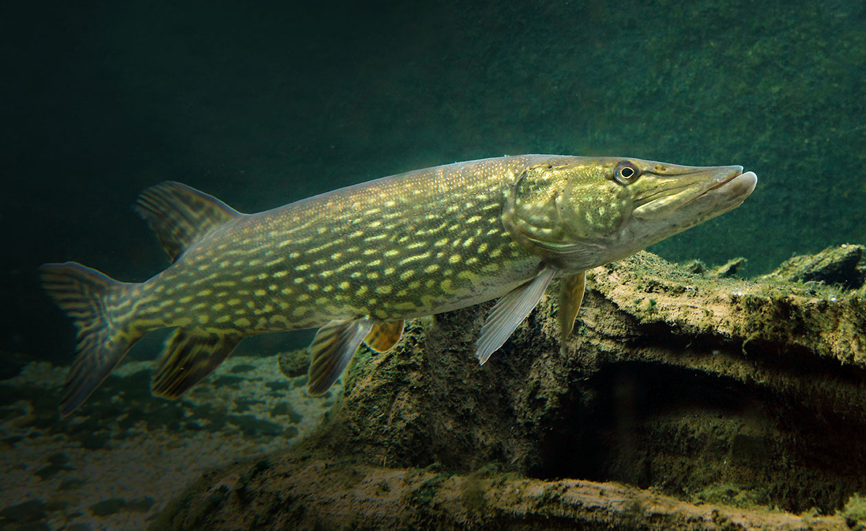 Hecht fisch und fang Teichfische deutschland