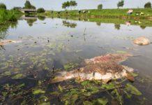 Tote Karpfen und Brassen in der Hunte - die Fische sind wahrscheinlich nach dem kräftezehrenden Laichgeschäft verendet. Bilder: F. Möllers