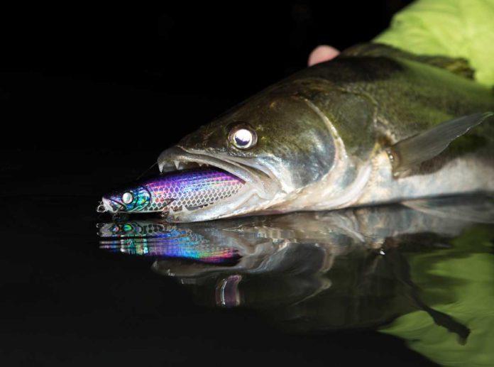 Im klaren Wasser eine Bank: der neue, violette Zanderkönig. Hier noch ein Prototyp mit weißen Augen.