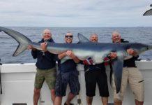 Der Rekord-Blauhai wurde nach dem Fang schonend wieder in sein Element zurückgesetzt.
