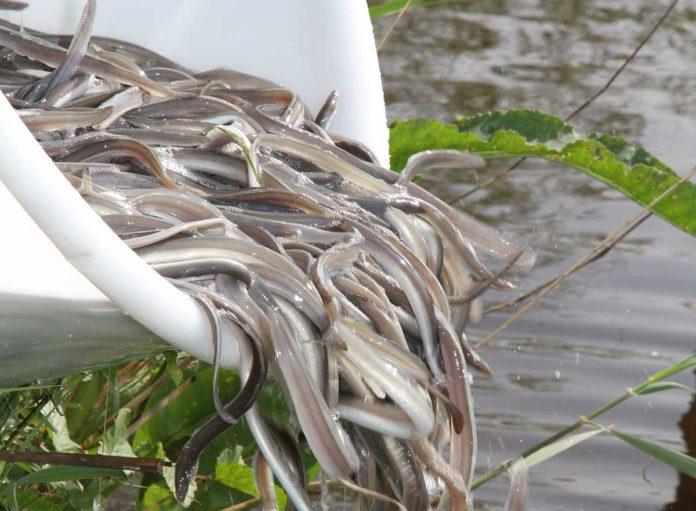 Durch Aalbesatz stützen Angler seit Jahrzehnten die Bestände. Bild: DAFV