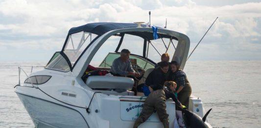 Der erste dänische Blauflossen-Thunfisch wird von Wissenschaftlern markiert: Bild: Westin