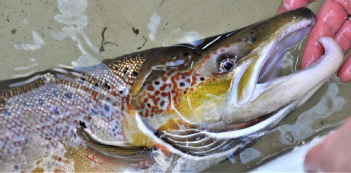 Solche prächtigen Lachse sollen wieder in Brandenburg heimisch werden. Foto: Marcel Weichenhan