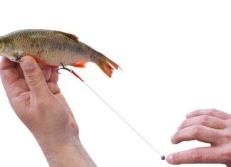 In der hier demonstrierten Position wird der Köderfisch schließlich beim Angeln über dem Grund stehen. In der warmen Jahreszeit können weder Hechte noch große Zander dem schwebenden Naturköder widerstehen.