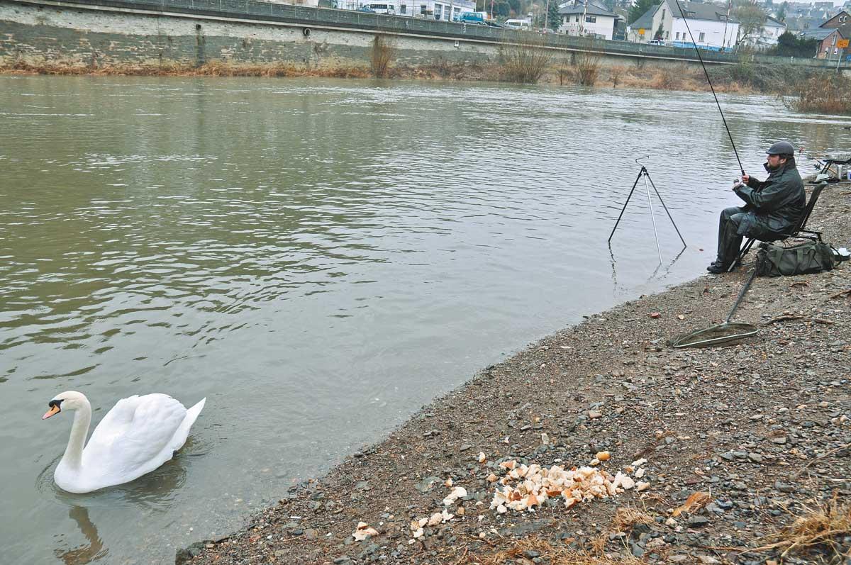 Wo Enten und Schwäne gefüttert werden, sind oft die besten Angelplätze. Dort naschen Döbel gerne mal die eine oder andere Brotflocke.