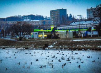 Kein günstiger Erhaltungszustand? Massenaufkommen von Kormoranen bei der morgendlichen Jagd inmitten einer deutschen Stadt. Foto: Silvio Heidler