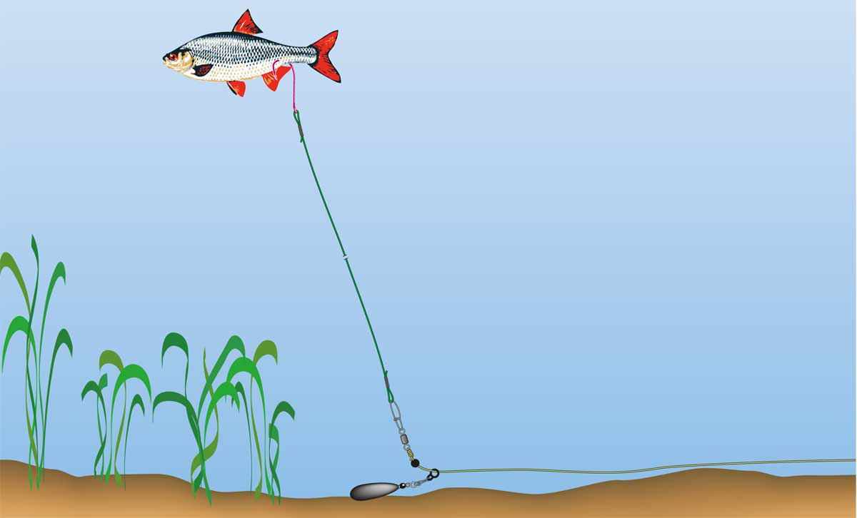 Bei dieser Auftriebsmontage wird der Köderfisch mit einem ein- geführten Auftriebskörper schwimmfähig gemacht. Ein weiteres wichtiges Detail ist der große Run-Ring.