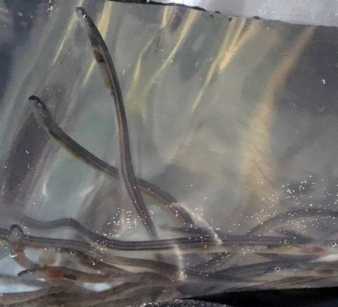 Die immer seltener werdenden Glasaale werden für viel Geld weltweit geschmuggelt. Bild: Ingo Kramer, LFVBW