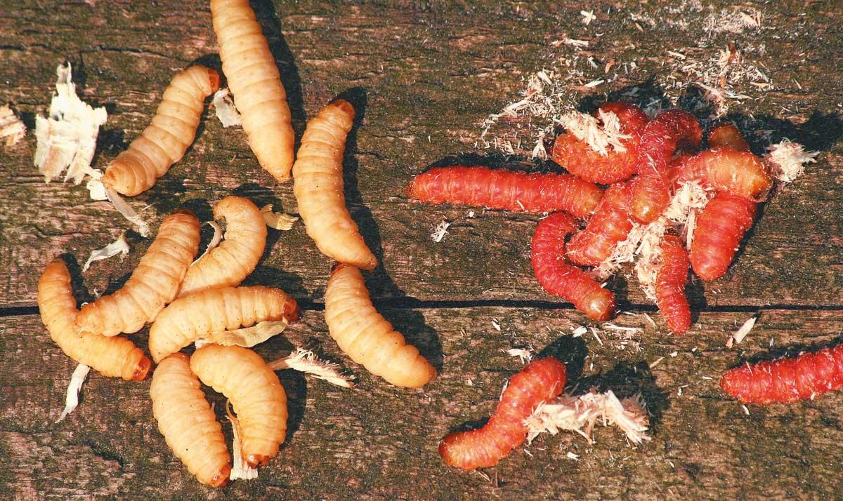 Alternativ zu Maden können auch Bienenmaden (l.) und Tebolarven einen Versuch auf Aal lohnen. Hauptsache, der Frühlingsköder ist klein und quirlig.