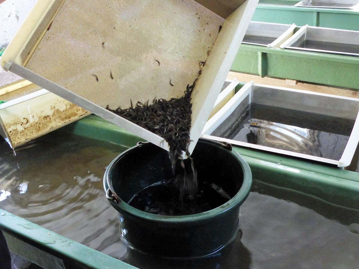 Die Brut wird aus dem Schlupfbecken entnommen.