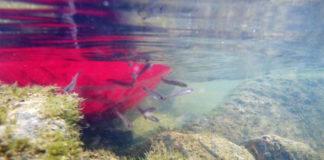 Die Seeforellenbrut wird in die Freiheit entlassen. Bilder: LFV Bayern