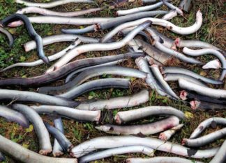 Still und leise verenden tagtäglich unzählige Aale auf ihren Wanderungen in den Turbinen der Wasserkraftwerke. Foto: Frode Kroglund