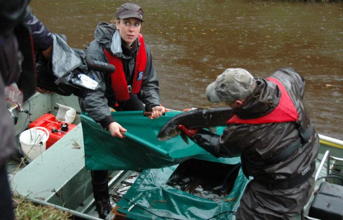 Mitglieder der ARGE beim Abfischen von Laichfischen. Bild: Sönke Rother