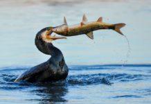 Wildlebende Fischarten und Teichwirtschaften leiden mehr den je unter den ausufernden Kormoranbeständen in Europa. Foto: Silvio Heidler/DAFV
