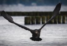 Immer mehr Studien belegen den katastrophalen Einfluss der ausufernden Kormoranpopulation auf die angestammten Fischbestände in den Flüssen Europas. Foto: DAFV, Olaf Lindner