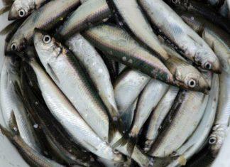 Ein prall gefüllter Eimer mit geangelten Heringen könnte zukünftig an der deutschen Ostseeküste der Vergangenheit angehören. Bild: Redaktion