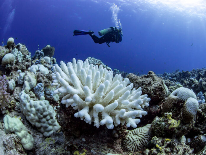 Korallenbleiche in einem Riff im Roten Meer in der Nähe von Jeddah, Saudi Arabien. Bilder: Anna Roik