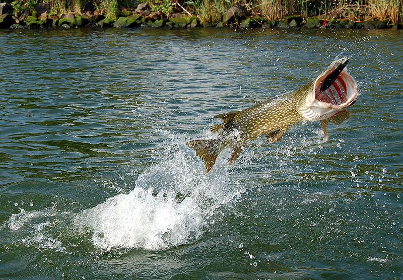 Faszination hecht fisch und fang for Steckbrief karpfen